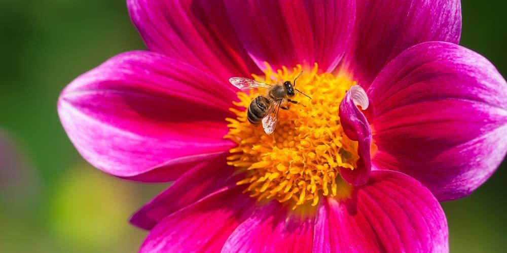bee_sucking_nectar