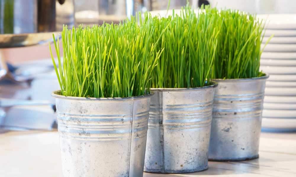 the health benefits of wheatgrass